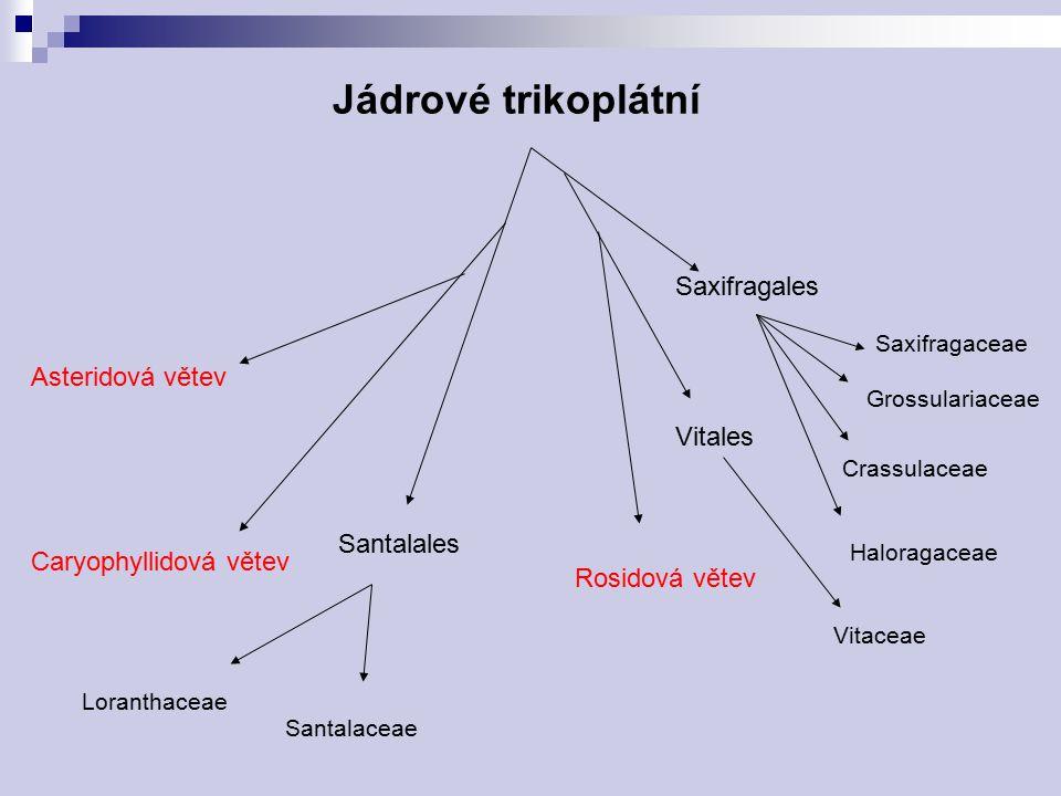 Jádrové trikoplátní Asteridová větev Rosidová větev Santalales Saxifragales Vitales Caryophyllidová větev Saxifragaceae Crassulaceae Santalaceae Loran