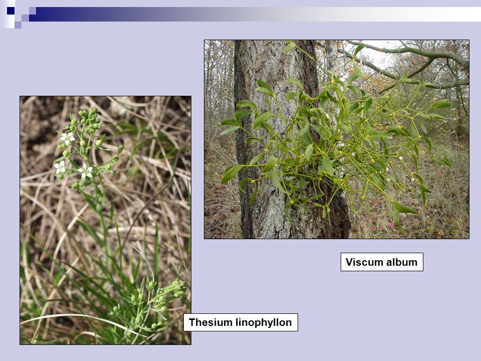 Viscum album Thesium linophyllon