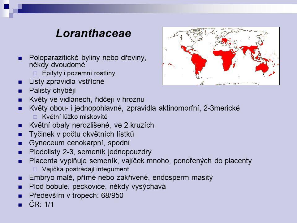 Loranthaceae Poloparazitické byliny nebo dřeviny, někdy dvoudomé  Epifyty i pozemní rostliny Listy zpravidla vstřícné Palisty chybějí Květy ve vidlan
