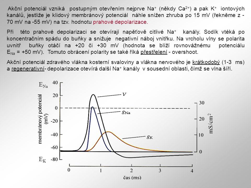 Akční potenciál vzniká postupným otevřením nejprve Na + (někdy Ca 2+ ) a pak K + iontových kanálů, jestliže je klidový membránový potenciál náhle sníž