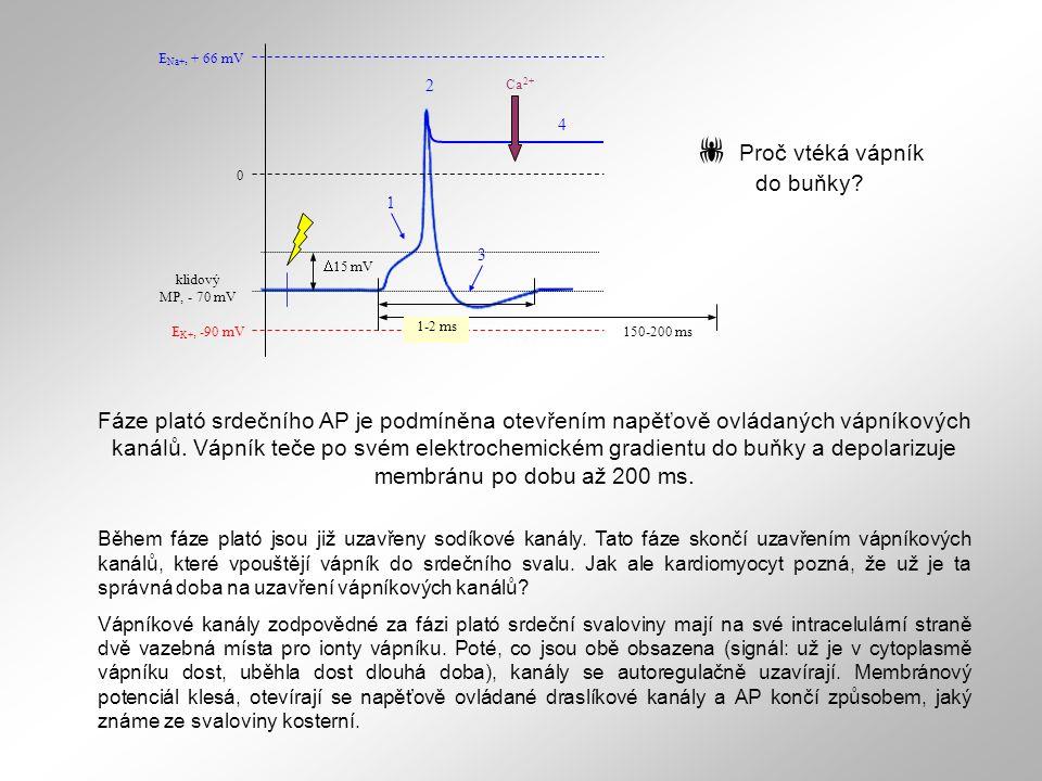 150-200 ms E Na+, + 66 mV E K+, -90 mV 0 klidový MP, - 70 mV  15 mV 1 2 3 1-2 ms 4 Ca 2+ Fáze plató srdečního AP je podmíněna otevřením napěťově ovlá