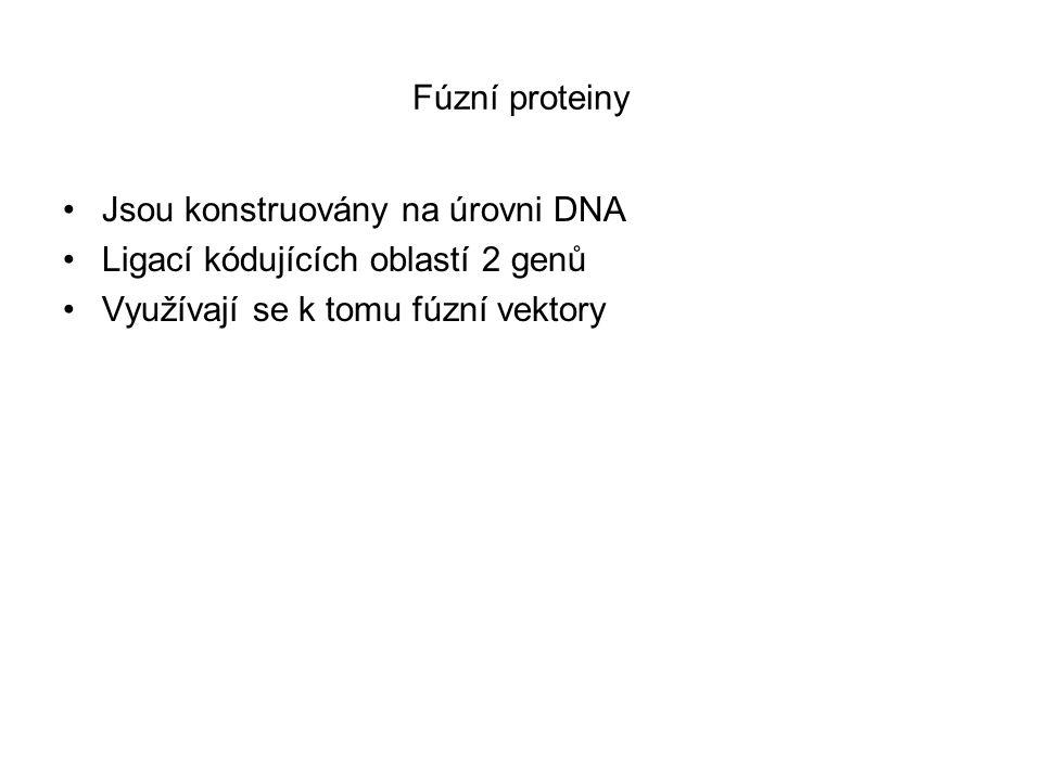Fúzní proteiny Jsou konstruovány na úrovni DNA Ligací kódujících oblastí 2 genů Využívají se k tomu fúzní vektory