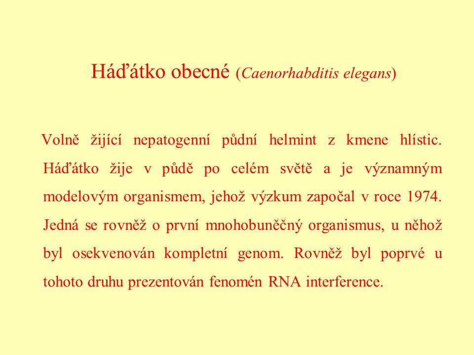 Háďátko obecné (Caenorhabditis elegans) Volně žijící nepatogenní půdní helmint z kmene hlístic. Háďátko žije v půdě po celém světě a je významným mode