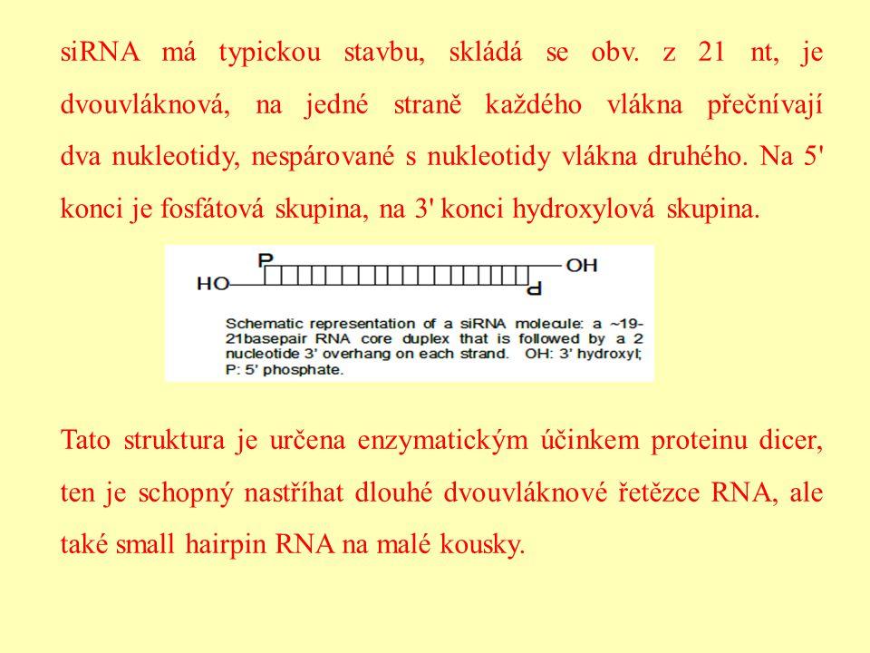 siRNA má typickou stavbu, skládá se obv. z 21 nt, je dvouvláknová, na jedné straně každého vlákna přečnívají dva nukleotidy, nespárované s nukleotidy