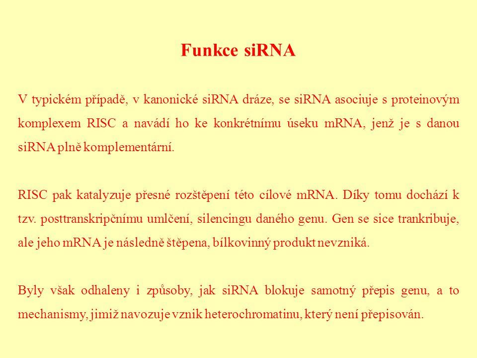 Funkce siRNA V typickém případě, v kanonické siRNA dráze, se siRNA asociuje s proteinovým komplexem RISC a navádí ho ke konkrétnímu úseku mRNA, jenž j