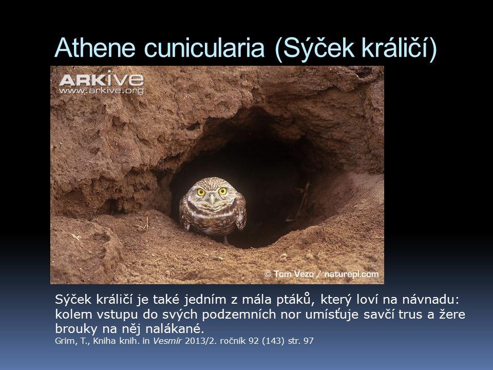 Athene cunicularia (Sýček králičí) Sýček králičí je také jedním z mála ptáků, který loví na návnadu: kolem vstupu do svých podzemních nor umísťuje savčí trus a žere brouky na něj nalákané.