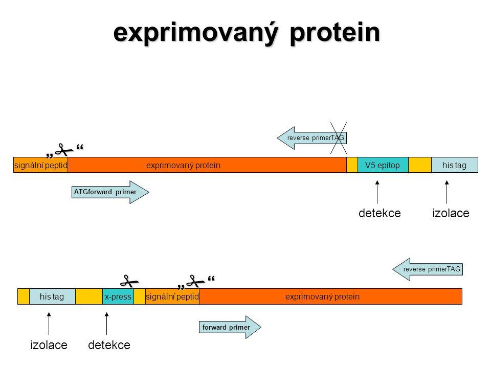 """his tagx-pressexprimovaný proteinsignální peptid izolace  detekce """""""""""""""""""""""""""""""" forward primer reverse primerTAG his tagV5 epitopexprimovaný proteinsi"""
