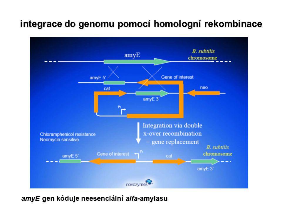 integrace do genomu pomocí homologní rekombinace amyE gen kóduje neesenciální alfa-amylasu