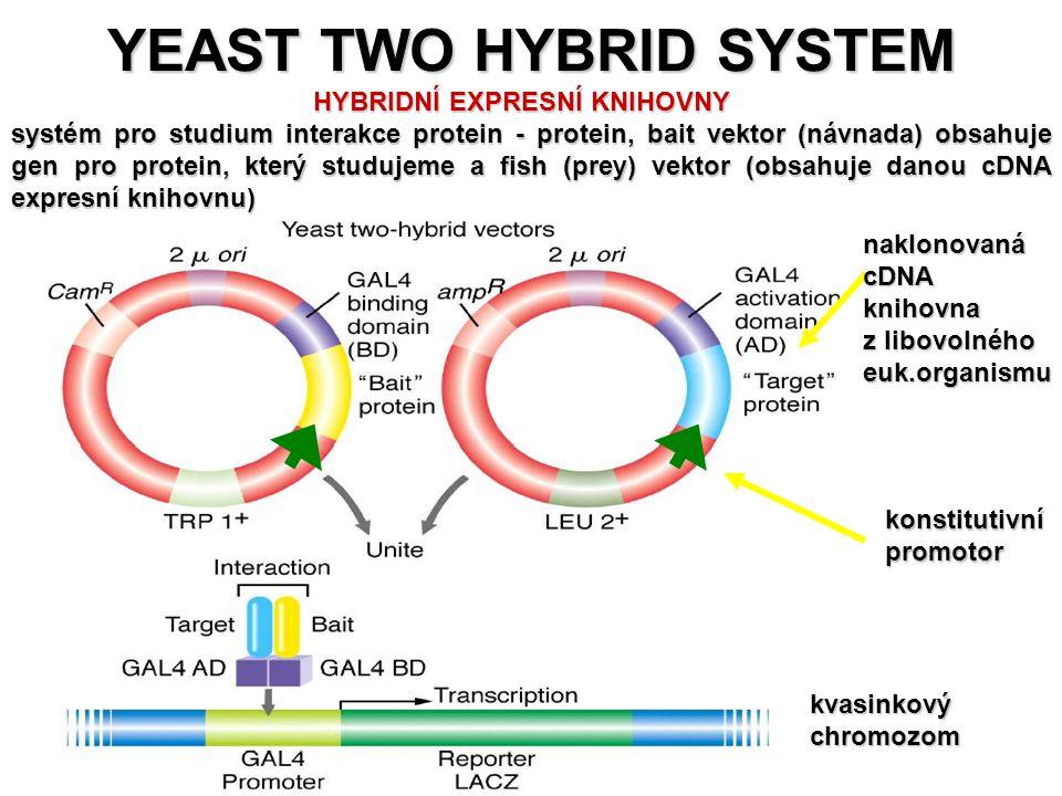 YEAST TWO HYBRID SYSTEM PRO STUDIUM PROTEIN-PROTEIN INTERAKCÍ – význam pro studium regulačních a signálních drahnaklonovanácDNAknihovna z libovolného