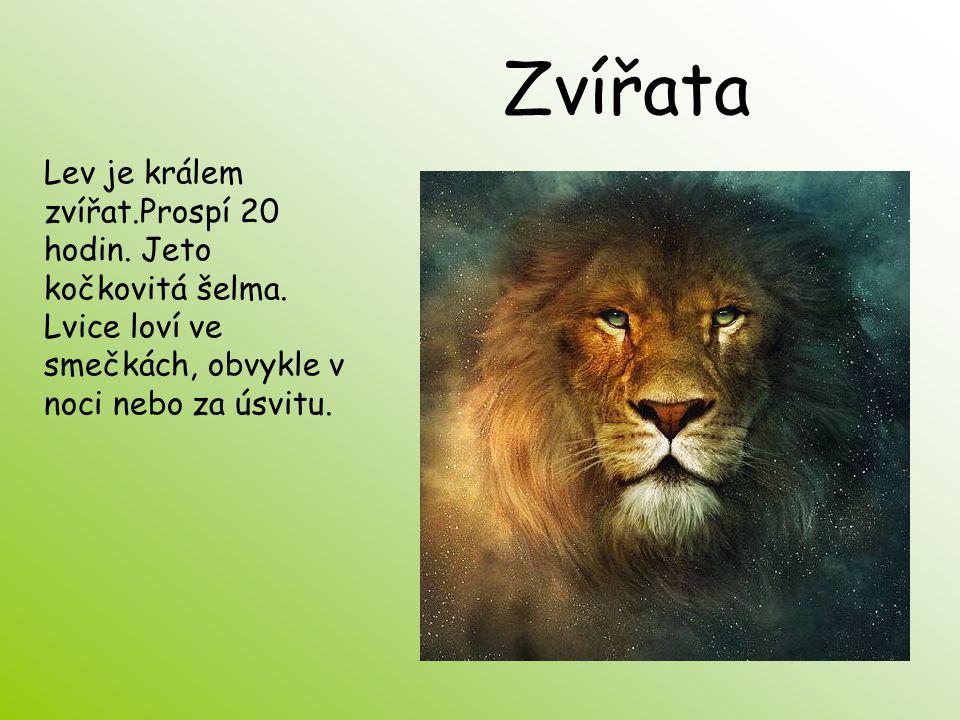 Zvířata Lev je králem zvířat.Prospí 20 hodin. Jeto kočkovitá šelma.
