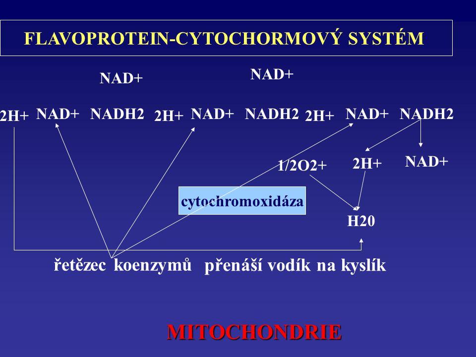 2H+ NAD+NADH2 2H+ NAD+ NADH2 NAD+ 2H+ 1/2O2+ H20 cytochromoxidáza FLAVOPROTEIN-CYTOCHORMOVÝ SYSTÉM řetězec koenzymů přenáší vodík na kyslík MITOCHONDRIE