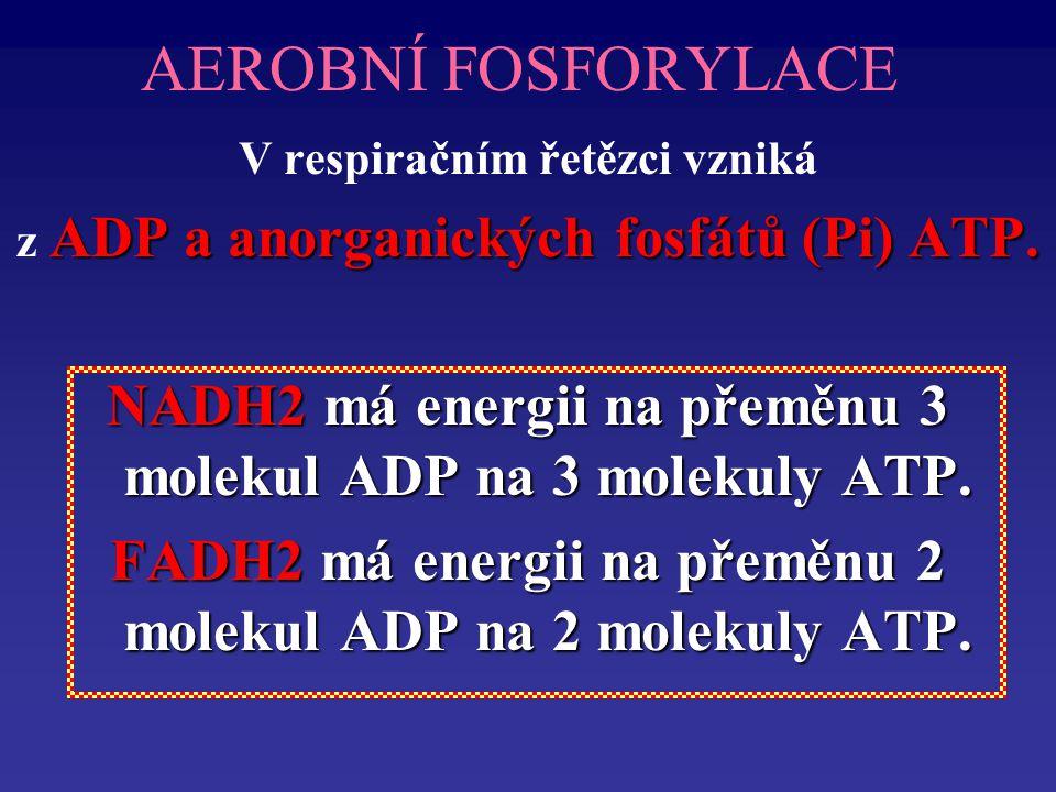 AEROBNÍ FOSFORYLACE V respiračním řetězci vzniká ADP a anorganických fosfátů (Pi) ATP.
