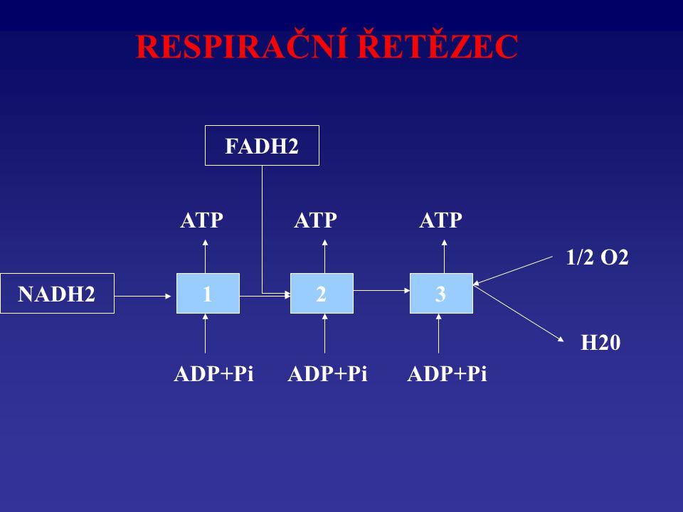 RESPIRAČNÍ ŘETĚZEC NADH2123 1/2 O2 H20 ADP+Pi ATP FADH2