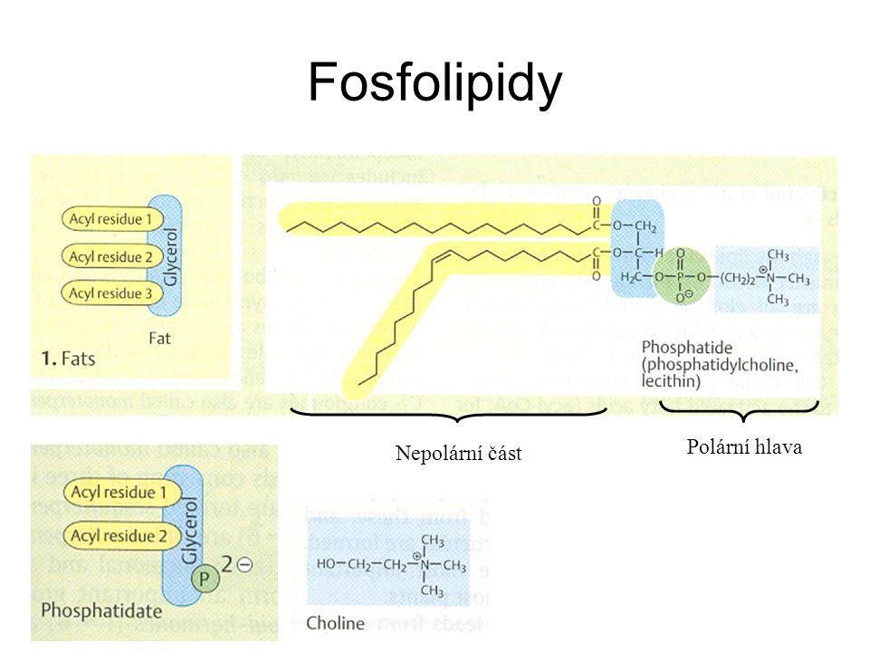 Nepolární část Polární hlava Fosfolipidy