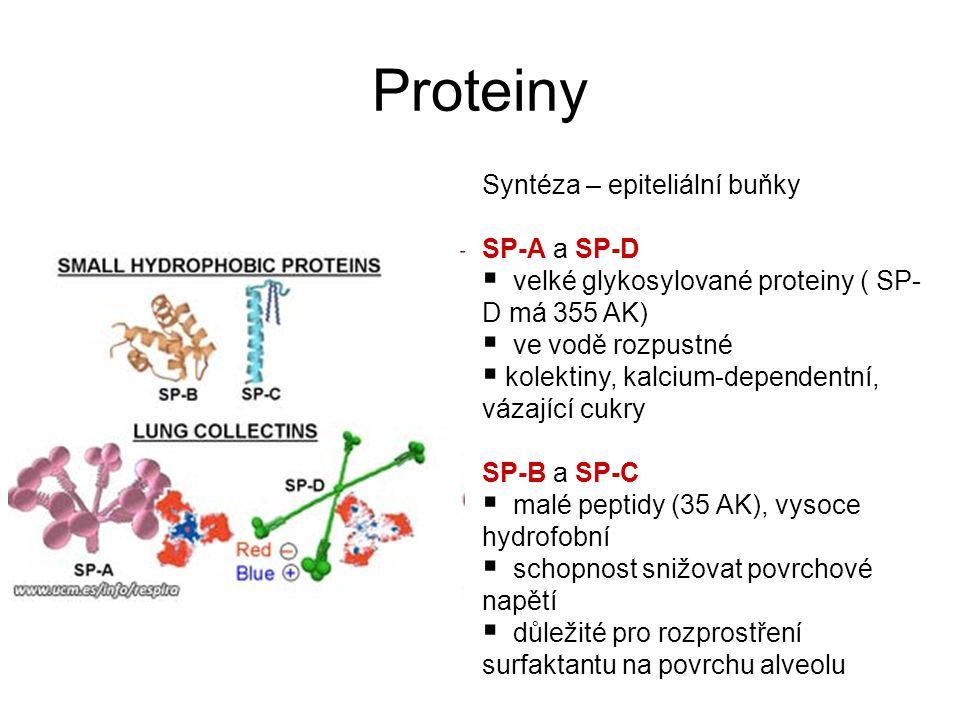 Syntéza – epiteliální buňky SP-A a SP-D  velké glykosylované proteiny ( SP- D má 355 AK)  ve vodě rozpustné  kolektiny, kalcium-dependentní, vázající cukry SP-B a SP-C  malé peptidy (35 AK), vysoce hydrofobní  schopnost snižovat povrchové napětí  důležité pro rozprostření surfaktantu na povrchu alveolu Proteiny