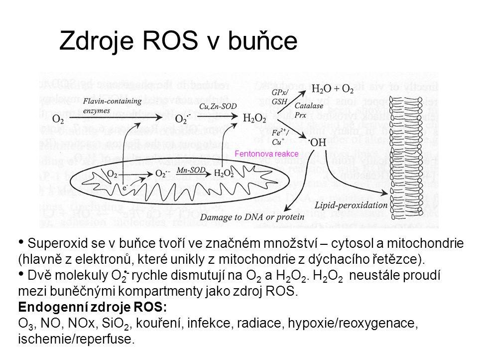 Zdroje ROS v buňce Superoxid se v buňce tvoří ve značném množství – cytosol a mitochondrie (hlavně z elektronů, které unikly z mitochondrie z dýchacího řetězce).