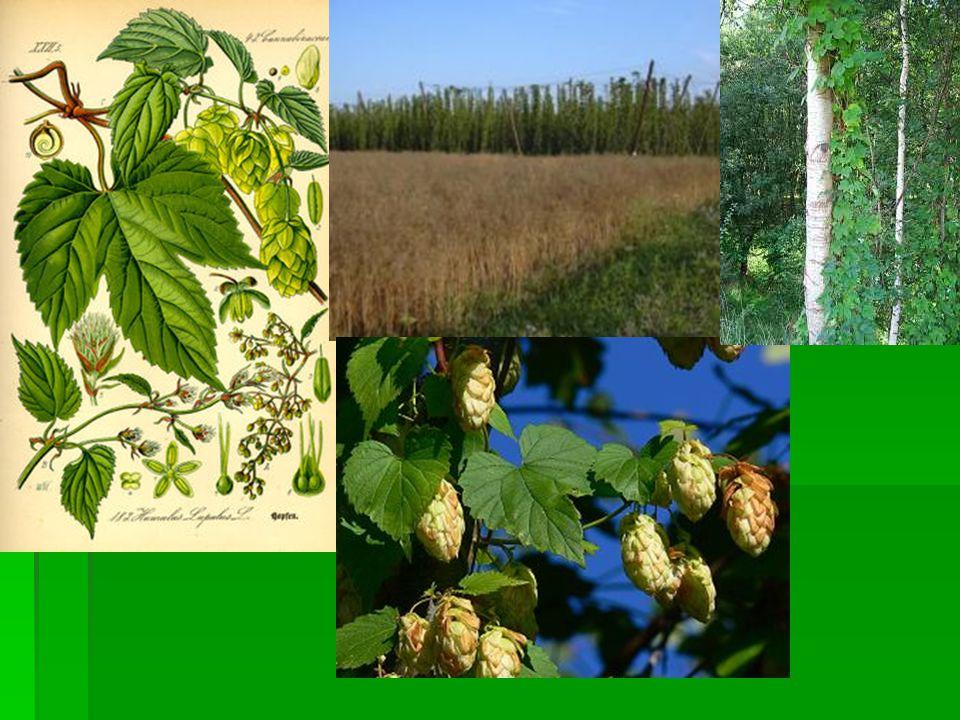 Konopí seté(Canabis)  Teplomilná rostlina původem ze střední Asie  Náročné na vodu a živiny,zatěžuje půdu  Má obrovské spektrum využití např.
