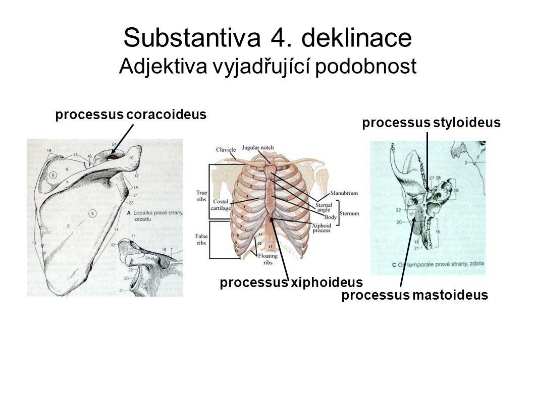 Substantiva 4. deklinace Adjektiva vyjadřující podobnost processus coracoideus processus xiphoideus processus mastoideus processus styloideus