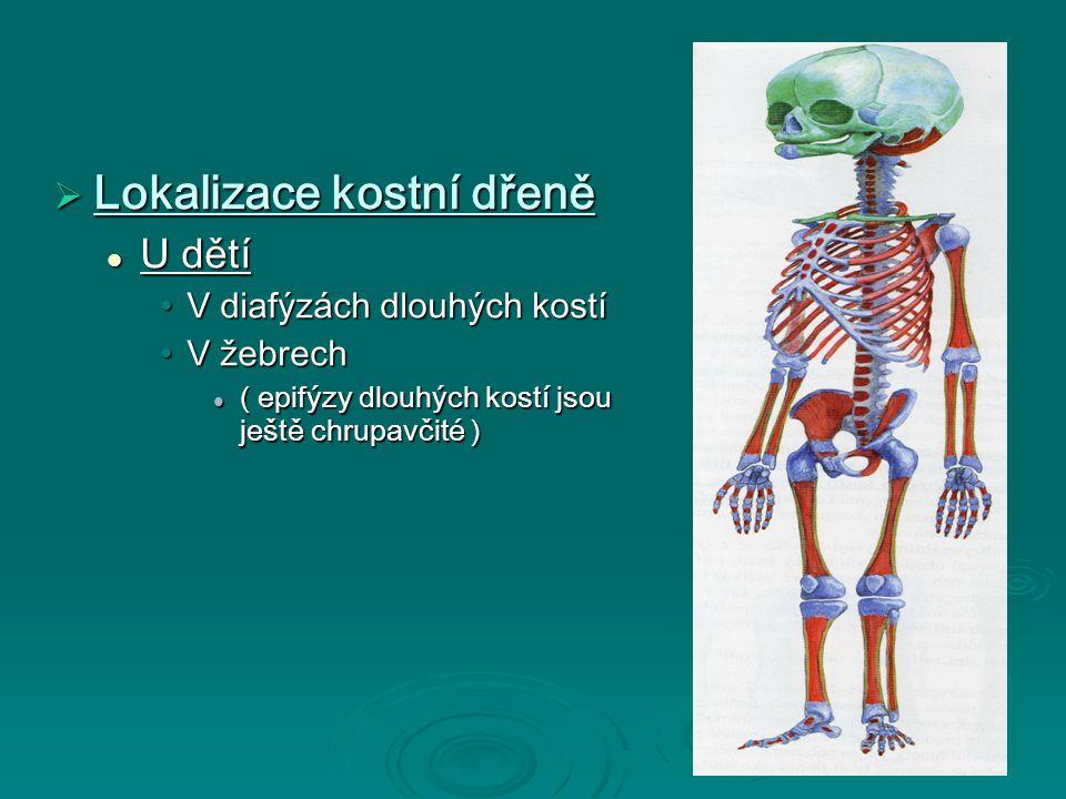  Lokalizace kostní dřeně U dětí U dětí V diafýzách dlouhých kostíV diafýzách dlouhých kostí V žebrechV žebrech ( epifýzy dlouhých kostí jsou ještě chrupavčité ) ( epifýzy dlouhých kostí jsou ještě chrupavčité )
