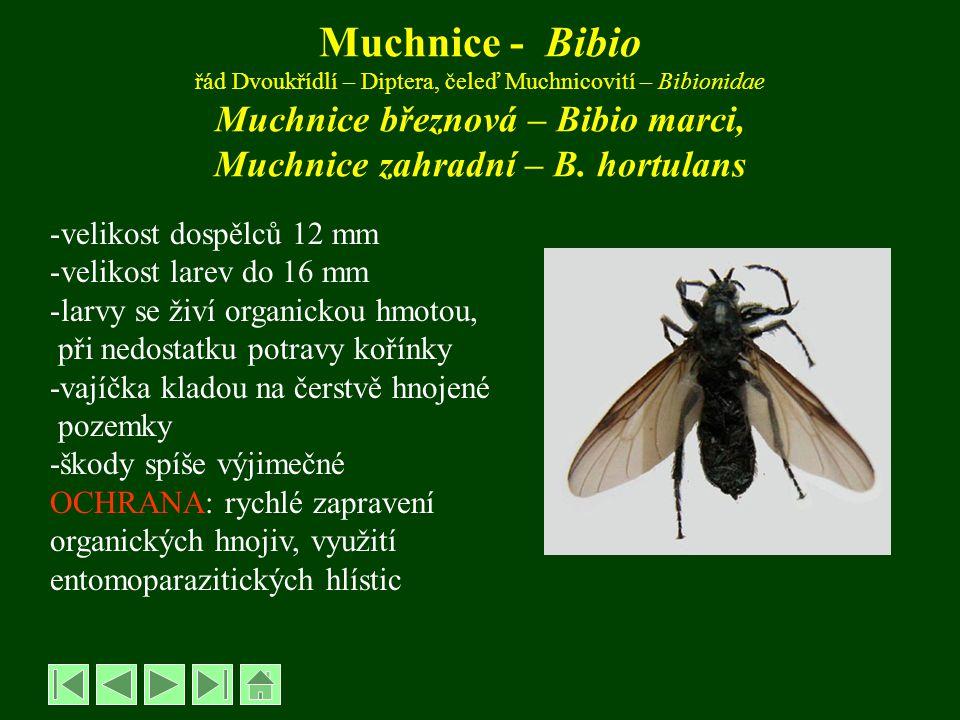 Muchnice - Bibio řád Dvoukřídlí – Diptera, čeleď Muchnicovití – Bibionidae Muchnice březnová – Bibio marci, Muchnice zahradní – B. hortulans -velikost