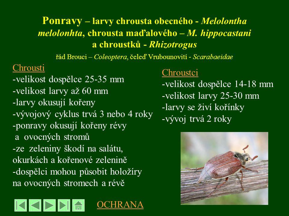 Ponravy – larvy chrousta obecného - Melolontha melolonhta, chrousta maďalového – M. hippocastani a chroustků - Rhizotrogus řád Brouci – Coleoptera, če