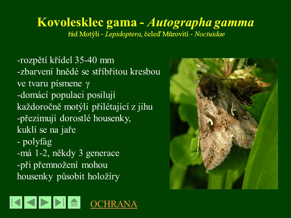 Kovolesklec gama - Autographa gamma řád Motýli - Lepidoptera, čeleď Můrovití - Noctuidae -rozpětí křídel 35-40 mm -zbarvení hnědé se stříbřitou kresbou ve tvaru písmene γ -domácí populaci posilují každoročně motýli přilétající z jihu -přezimují dorostlé housenky, kuklí se na jaře - polyfág -má 1-2, někdy 3 generace -při přemnožení mohou housenky působit holožíry OCHRANA