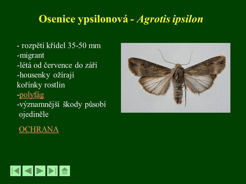 Osenice ypsilonová - Agrotis ipsilon - rozpětí křídel 35-50 mm -migrant -létá od července do září -housenky ožírají kořínky rostlin -polyfágpolyfág -v