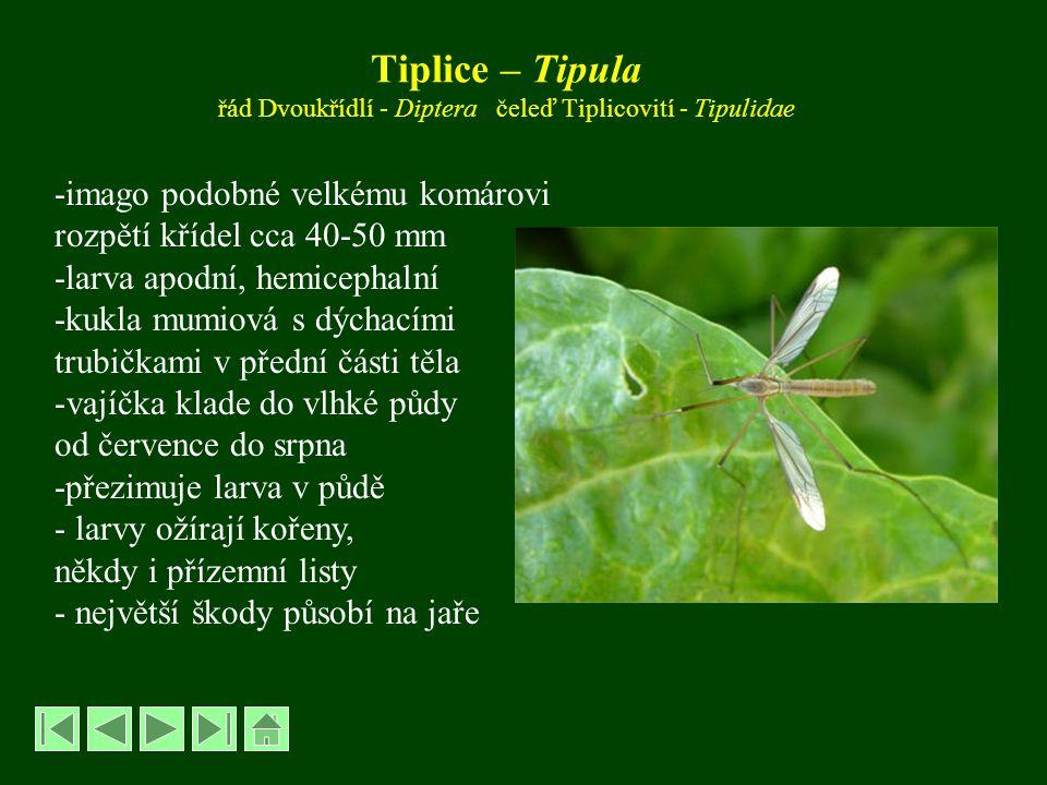 Tiplice – Tipula řád Dvoukřídlí - Diptera čeleď Tiplicovití - Tipulidae -imago podobné velkému komárovi rozpětí křídel cca 40-50 mm -larva apodní, hemicephalní -kukla mumiová s dýchacími trubičkami v přední části těla -vajíčka klade do vlhké půdy od července do srpna -přezimuje larva v půdě - larvy ožírají kořeny, někdy i přízemní listy - největší škody působí na jaře