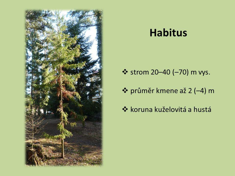 Habitus  strom 20–40 (–70) m vys.  průměr kmene až 2 (–4) m  koruna kuželovitá a hustá