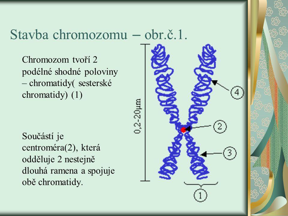 Stavba chromozomu – obr.č.1. Chromozom tvoří 2 podélné shodné poloviny – chromatidy( sesterské chromatidy) (1) Součástí je centroméra(2), která oddělu