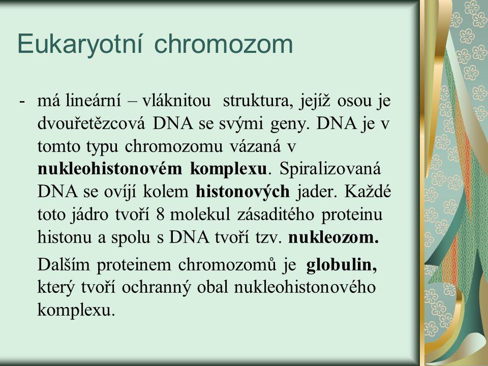 Eukaryotní chromozom -má lineární – vláknitou struktura, jejíž osou je dvouřetězcová DNA se svými geny.