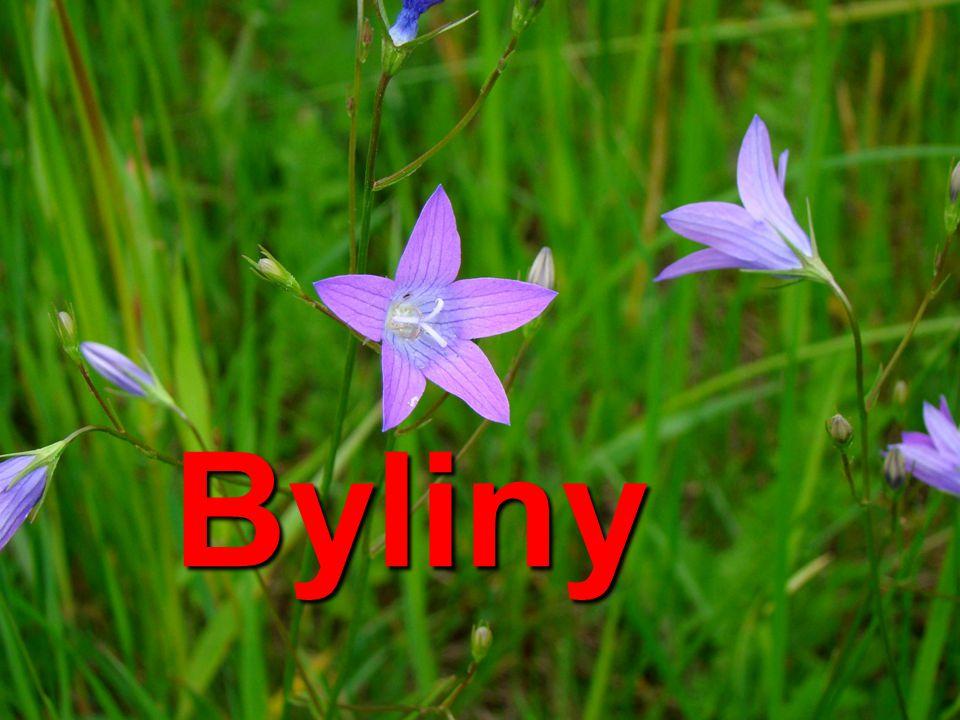 Rákos obecný je naše největší tráva roste na březích rybníků stébla stonky trav ( stejně jako u obilnin) jsou stébla