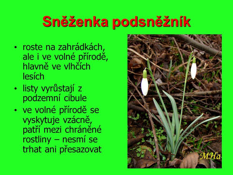 Sněženka podsněžník roste na zahrádkách, ale i ve volné přírodě, hlavně ve vlhčích lesích listy vyrůstají z podzemní cibule ve volné přírodě se vyskyt