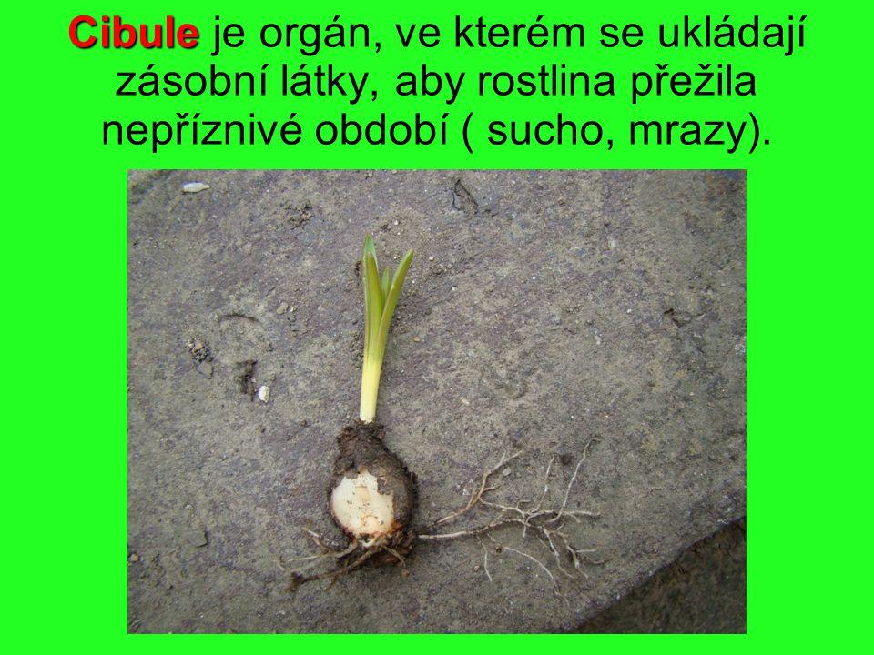 Cibule Cibule je orgán, ve kterém se ukládají zásobní látky, aby rostlina přežila nepříznivé období ( sucho, mrazy).