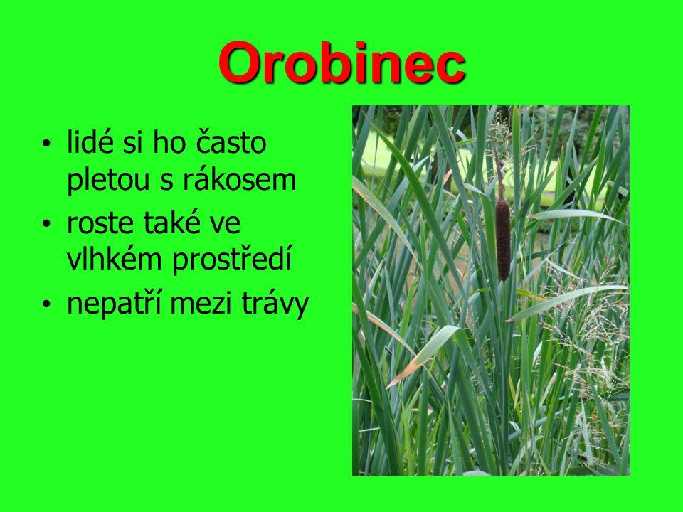 Orobinec lidé si ho často pletou s rákosem roste také ve vlhkém prostředí nepatří mezi trávy