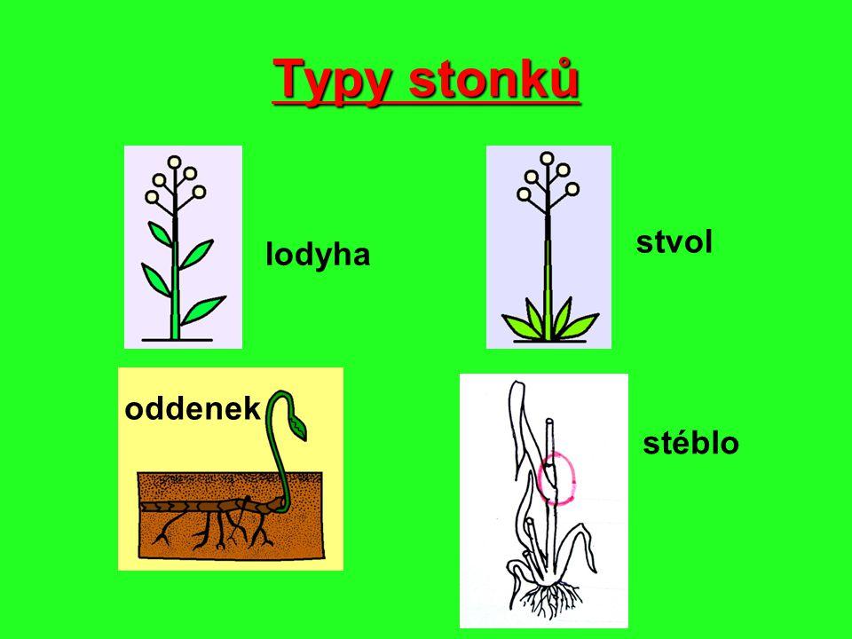 Lodyha dužnatý stonek, na kterém vyrůstají listy Hluchavka bílá