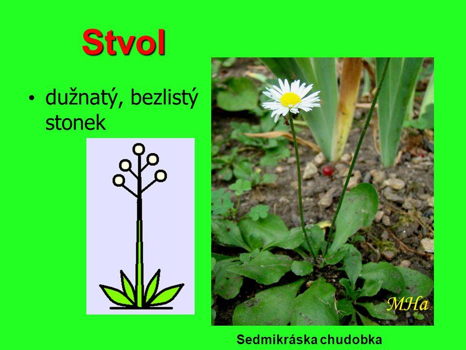 Oddenek poléhavý stonek, většinou roste v zemi vyrůstají z něj kořeny rostlina v něm ukládá zásobní látky Kosatec