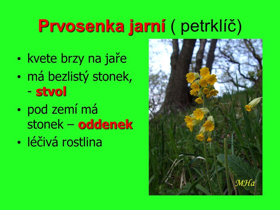 Prvosenka jarní Prvosenka jarní ( petrklíč) kvete brzy na jaře stvol má bezlistý stonek, - stvol oddenek pod zemí má stonek – oddenek léčivá rostlina