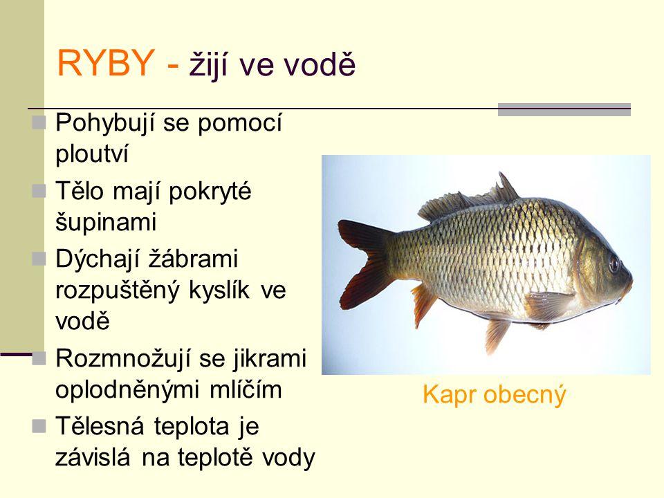 RYBY - žijí ve vodě Pohybují se pomocí ploutví Tělo mají pokryté šupinami Dýchají žábrami rozpuštěný kyslík ve vodě Rozmnožují se jikrami oplodněnými mlíčím Tělesná teplota je závislá na teplotě vody Kapr obecný