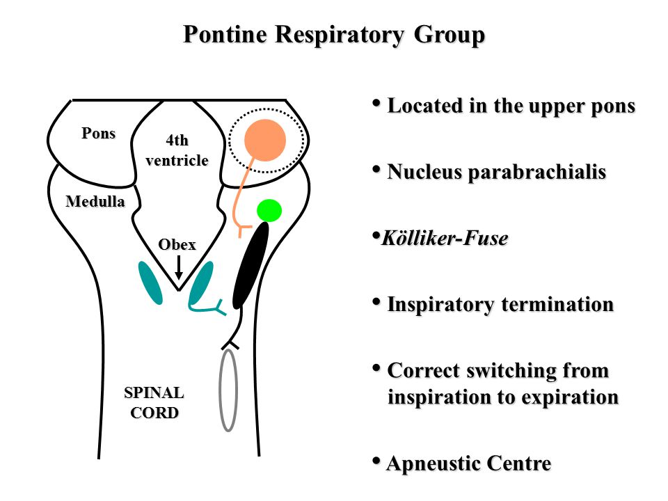 Obex 4thventricle SPINALCORD Pontine Respiratory Group Pons Medulla Located in the upper pons Located in the upper pons Nucleus parabrachialis Nucleus