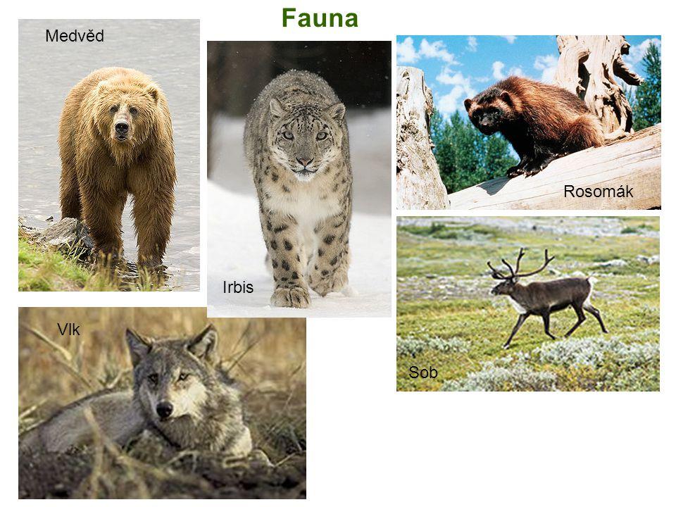Fauna Rosomák Sob Medvěd Vlk Irbis