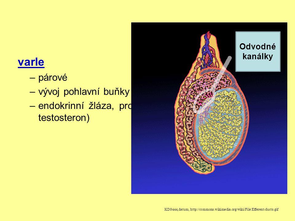 varle –párové –vývoj pohlavní buňky (spermie) –endokrinní žláza, produkuje pohlavní hormony (např. testosteron) Odvodné kanálky KDS444,datum, http://c