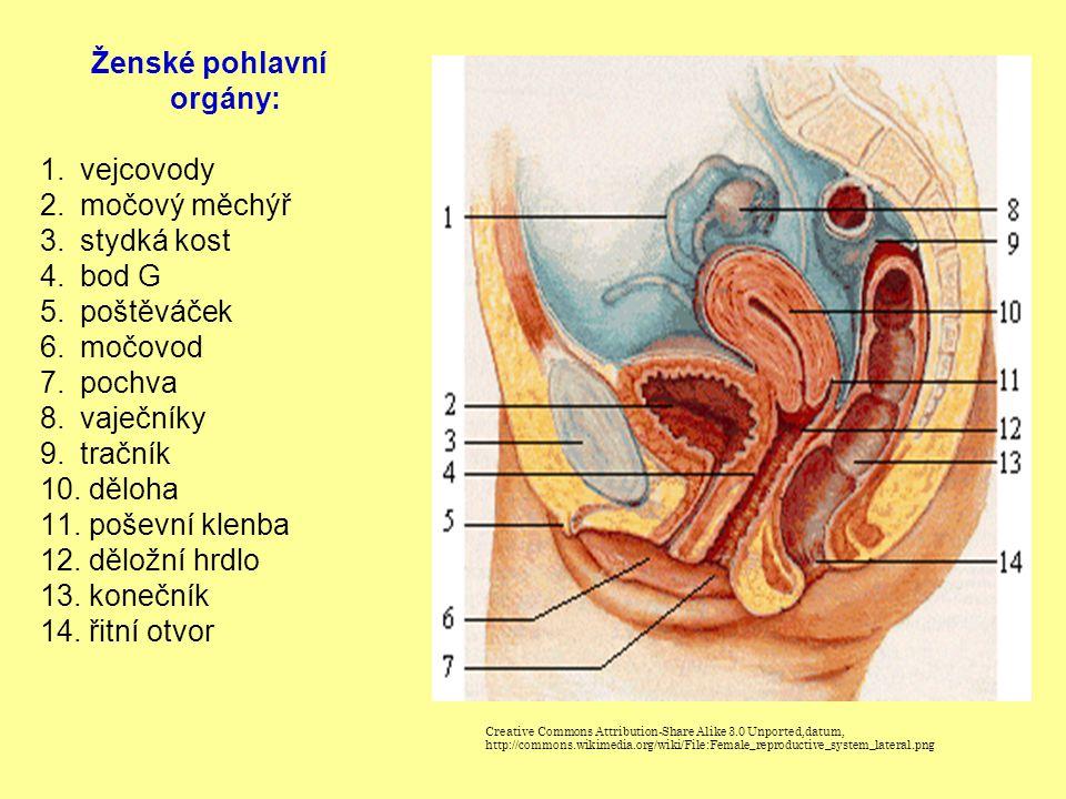 Ženské pohlavní orgány: 1.vejcovody 2.močový měchýř 3.stydká kost 4.bod G 5.poštěváček 6.močovod 7.pochva 8.vaječníky 9.tračník 10. děloha 11. poševní