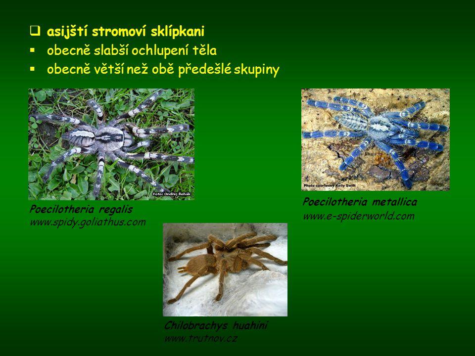  asijští stromoví sklípkani  obecně slabší ochlupení těla  obecně větší než obě předešlé skupiny Poecilotheria metallica www.e-spiderworld.com Chil
