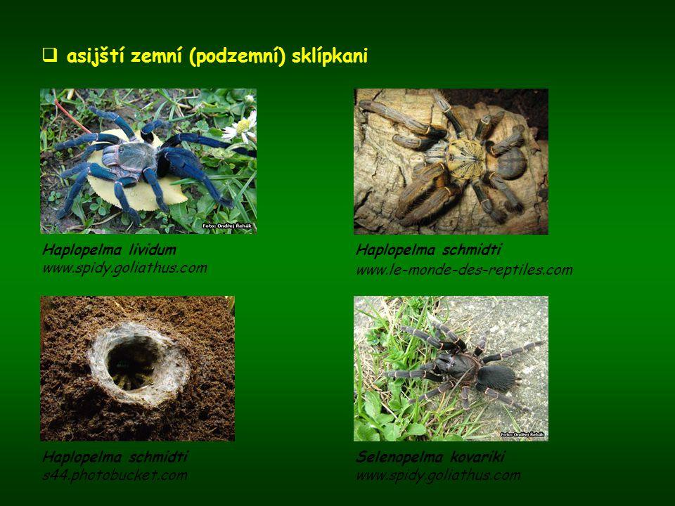  asijští zemní (podzemní) sklípkani Haplopelma lividum www.spidy.goliathus.com Haplopelma schmidti www.le-monde-des-reptiles.com Selenopelma kovariki