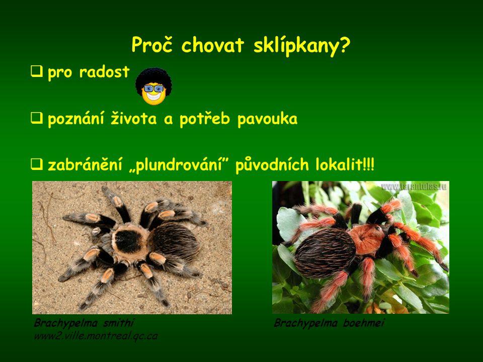 """Proč chovat sklípkany?  pro radost  poznání života a potřeb pavouka  zabránění """"plundrování"""" původních lokalit!!! Brachypelma smithi www2.ville.mon"""