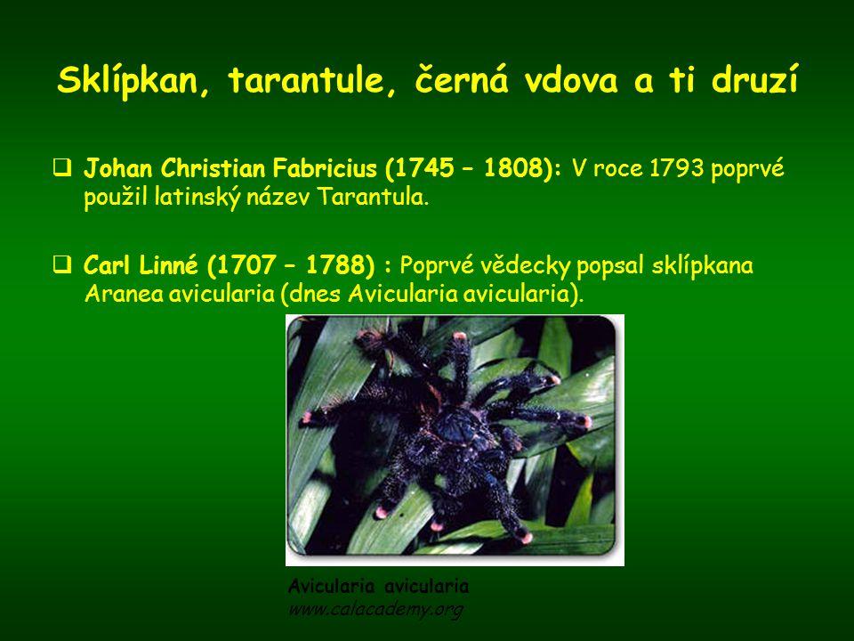 Sklípkan, tarantule, černá vdova a ti druzí  Sybille Merian: Autorka rytiny z roku 1705, zachycující ohromného pavouka na mrtvém ptáku.