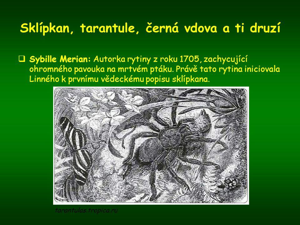 Sklípkan, tarantule, černá vdova a ti druzí  Sybille Merian: Autorka rytiny z roku 1705, zachycující ohromného pavouka na mrtvém ptáku. Právě tato ry