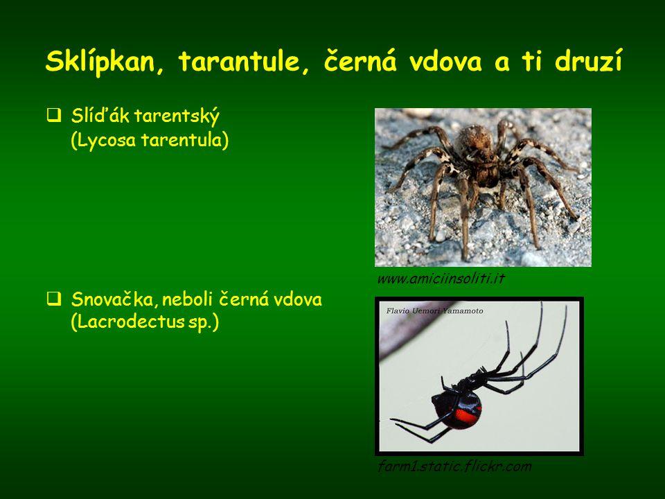 Sklípkan, tarantule, černá vdova a ti druzí  Slíďák tarentský (Lycosa tarentula)  Snovačka, neboli černá vdova (Lacrodectus sp.) www.amiciinsoliti.i