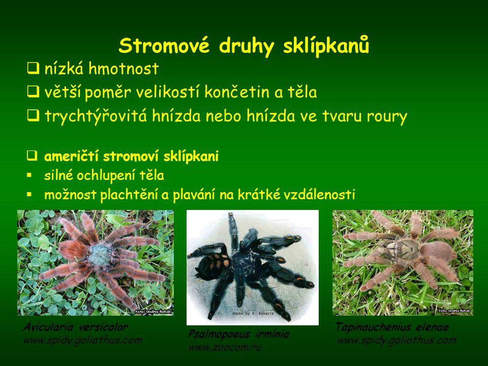  afričtí stromoví sklípkani  obecně slabší ochlupení těla Heteroscodra maculata www.spidy.goliathus.com Stromatopelma calceatum www.e-spiderworld.com Pterinochilus murinus